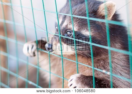 Raccoon Looks Through Lattice