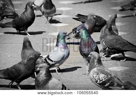 Pigeons Talking
