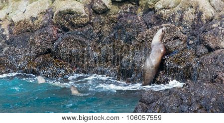 Sealion Jumping On To Rocks