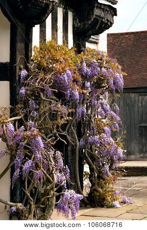 Tudor antique house Blakesley Hall entrance wisteria twine vine decorative tree flower uk Birmingham