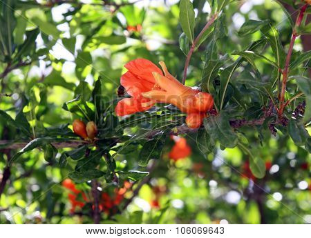 Flowering Pomegranate Tree In The Spring