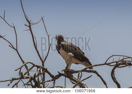 Martial Eagle, Africa's largest eagle