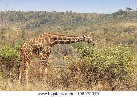 Reticulated Giraffe Eating leaves from tree top