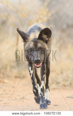 African Wild Dog (Painted Wolf)