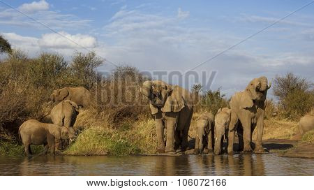 Herd African Elephants adults and young drinking at river