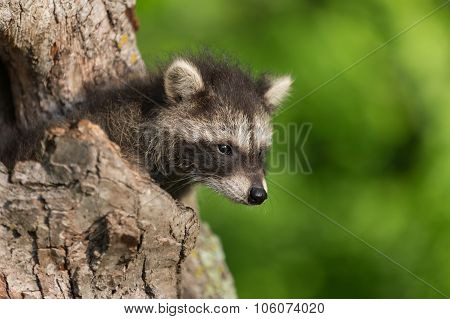 Young Raccoon (procyon Lotor) Pokes Head Out Of Hole