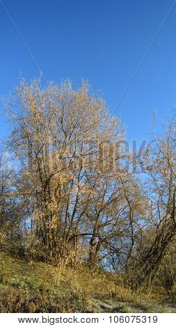 Maple Tree Grove