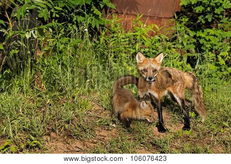 Red Fox Vixen And Kit (vulpes Vulpes) Stand Near Old Truck