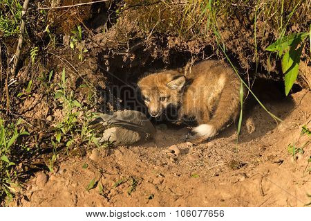Red Fox Kit (vulpes Vulpes) Hides In Den