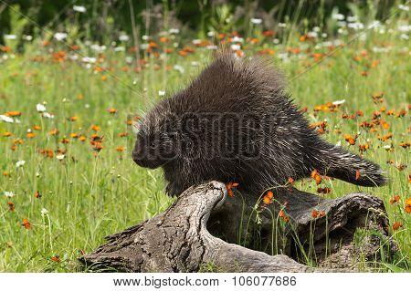 Porcupine (erethizon Dorsatum) Perches On Log Looking Left