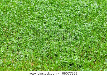 Bright Green Grass With Raindrops