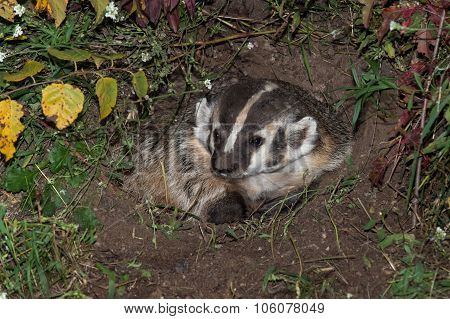 North American Badger (taxidea Taxus) Sits Calmly In Den
