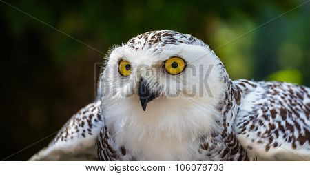 Detail Of Snowy Owl Head With Dark Background