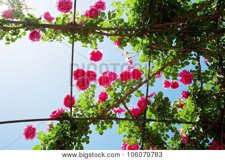 Creeping Rosebed