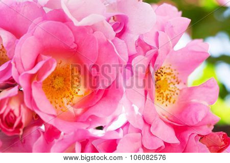 Pink Shaded Rose Flower Plant