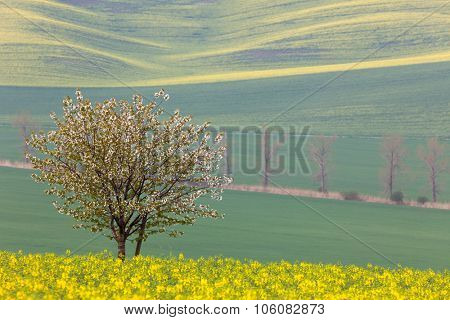 Blooming Tree over yellow and green fields - colorful spring landscape, horizontal