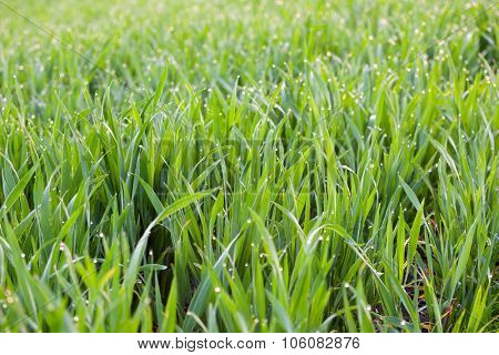Fresh Grass with drops of dew - green ecology background with soft focus