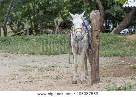 White Horse Front Portrait