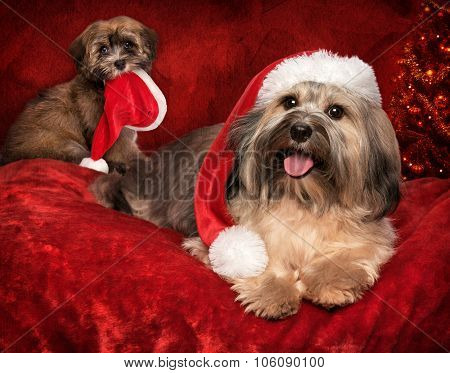 Cute Christmas Havanese Dog And Puppy On Greeting Card Design