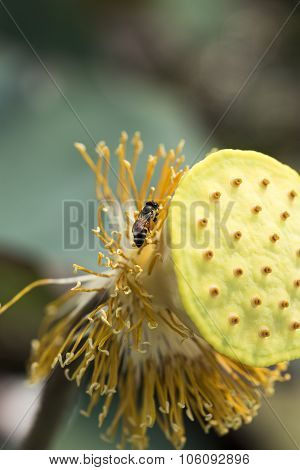 Wasp Collecting Pollen From Lotus Seed Animals Living In The World