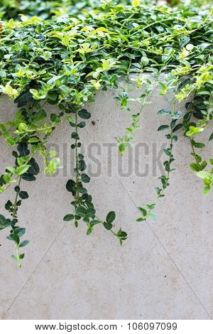 Leafy Vines over Wall