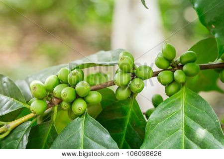 Close Up Green Coffee Bean On Branch