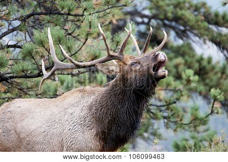 Bull Elk Cry