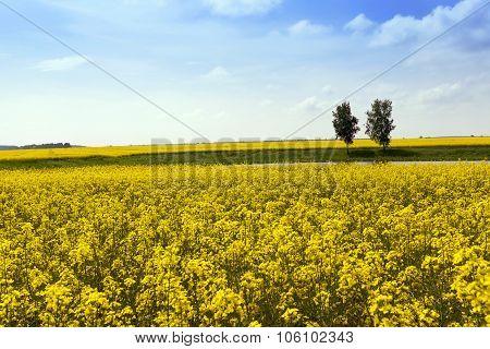 Rape field  .  trees in the background
