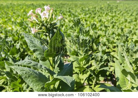 Blooming Tobacco Plants With Leaves, Flowers And Buds