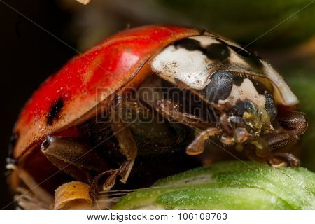 Asian Beetle With One Spot Cleans Green Wax From Face