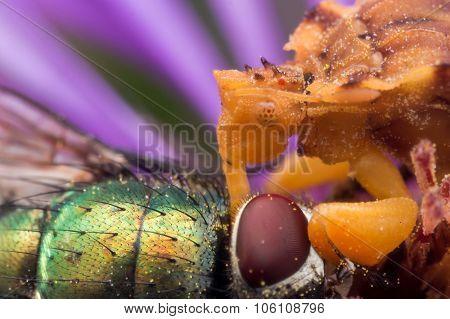 Yellow Ambush Bug Eats Shiny Green Fly On Purple Aster