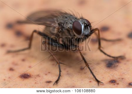 Close Up Photo Of House Fly On Brown Spotted Surface