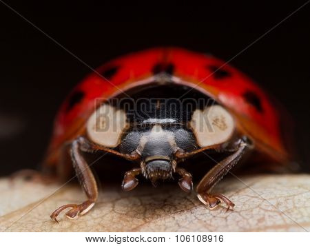 Close Up Portrait Of Asain Lady Beetle (ladybug) On Fallen Leaf