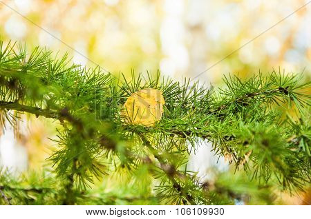 Green Needles Of A Larch Tree In Autumn Forest