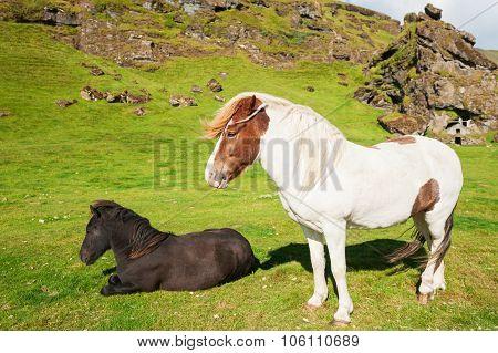 White And Black Icelandic Horses.