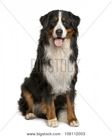 Bernese Mountain dog sitting in front of white background