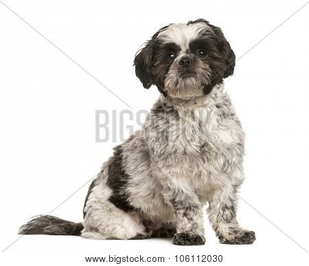 Shih Tzu sitting in front of white background