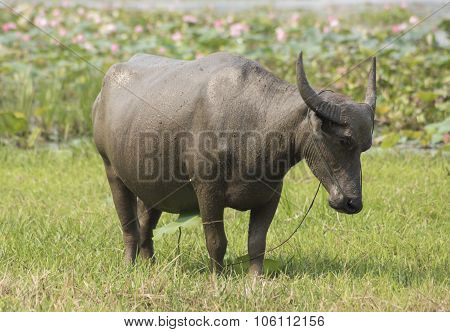 Water Buffalo Asia Farming And Agriculture