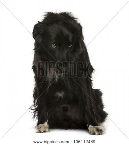 Submissive Crossbreed sitting in front of white background