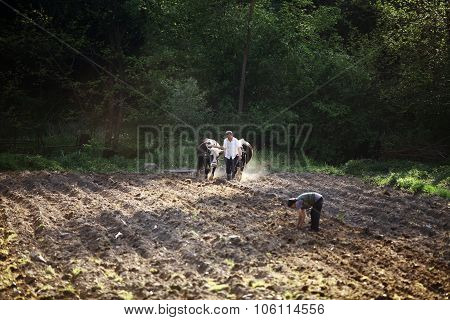 Ploughing With Oxen.