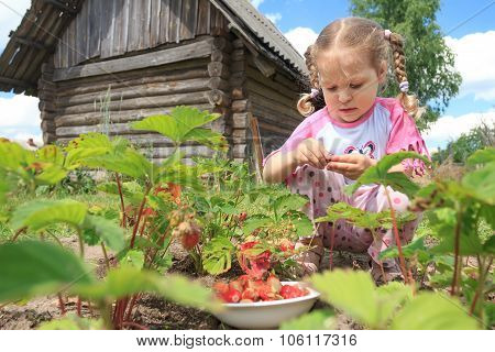 Preschooler Blonde Girl Gathering Home-grown Garden Strawberries On Outdoor Garden Bed