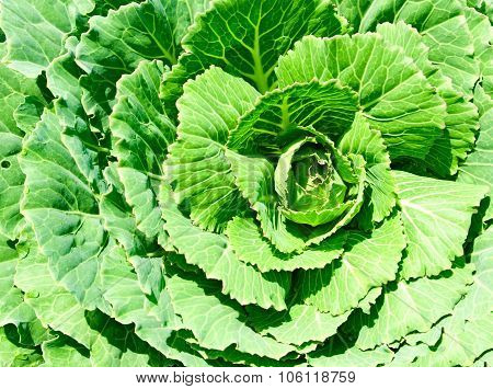 Image Of Cabbage Growing