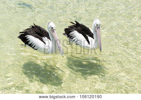 Pelicans swimming in the water