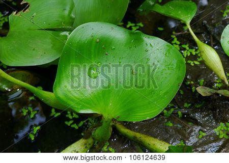 Hyacinth, green leaves in natural fresh water wells., Green, Leaves, Water, Nature, Natural