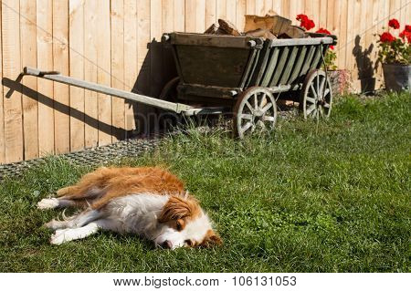 Dog Takes A Nap In The Grass