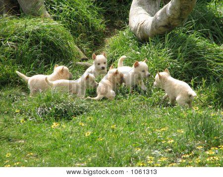 Cachorros de Dingo