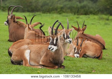 resting sable antelope