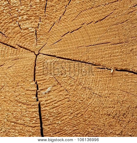 Pine Wood Tree Trunk Cross Section Texture Close Up