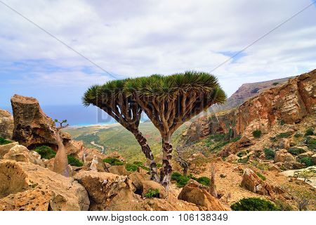 Dragon Blood Tree, Socotra