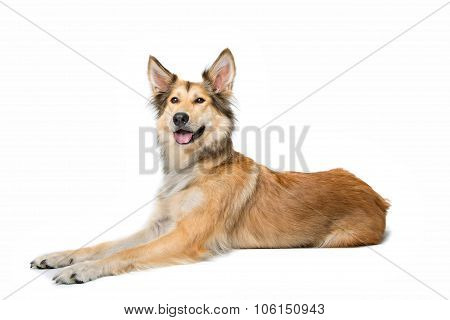 Mixed Breed Shepherd Dog